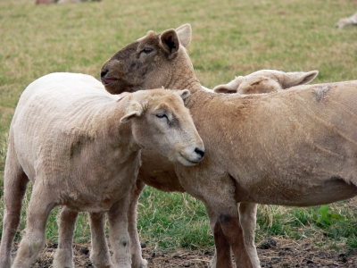 Reports reveal flaws in Australia's sheep ID system