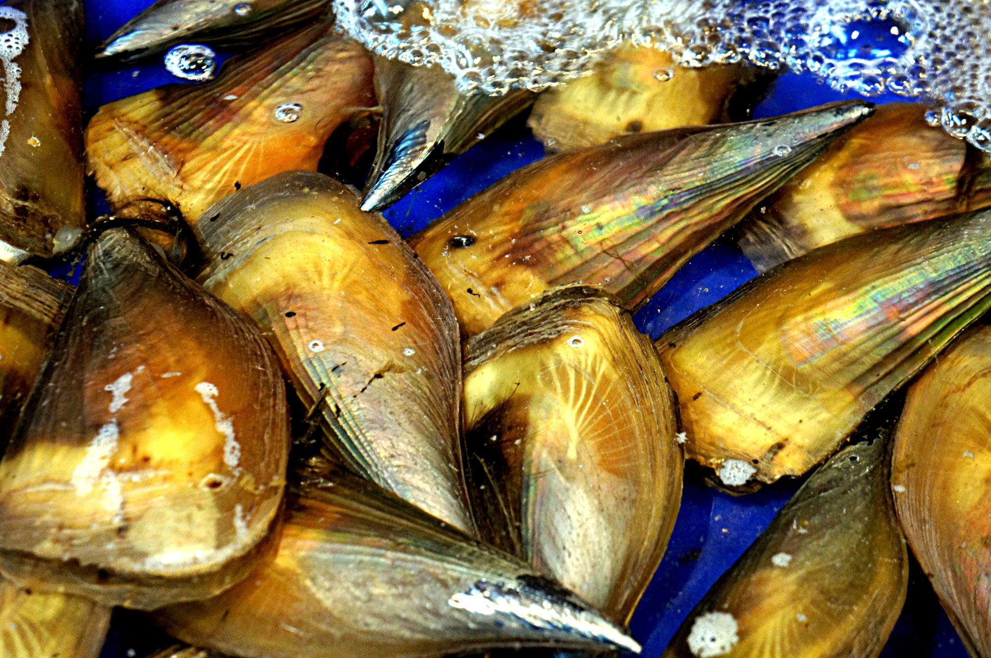 Minister Walsh announced EOI process for new Bay scallop fishery