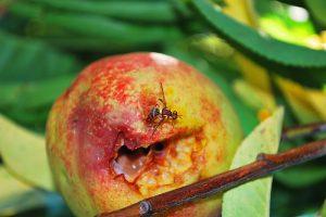 Queensland fruit fly Image credit: flickr User: Troy™