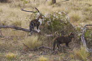 Feral cats Image credit: flickr User:  maginoz1