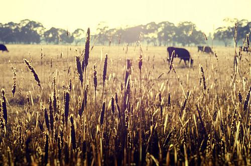 Farming Australia  Image credit: flickr User: Indigo Skies Photography