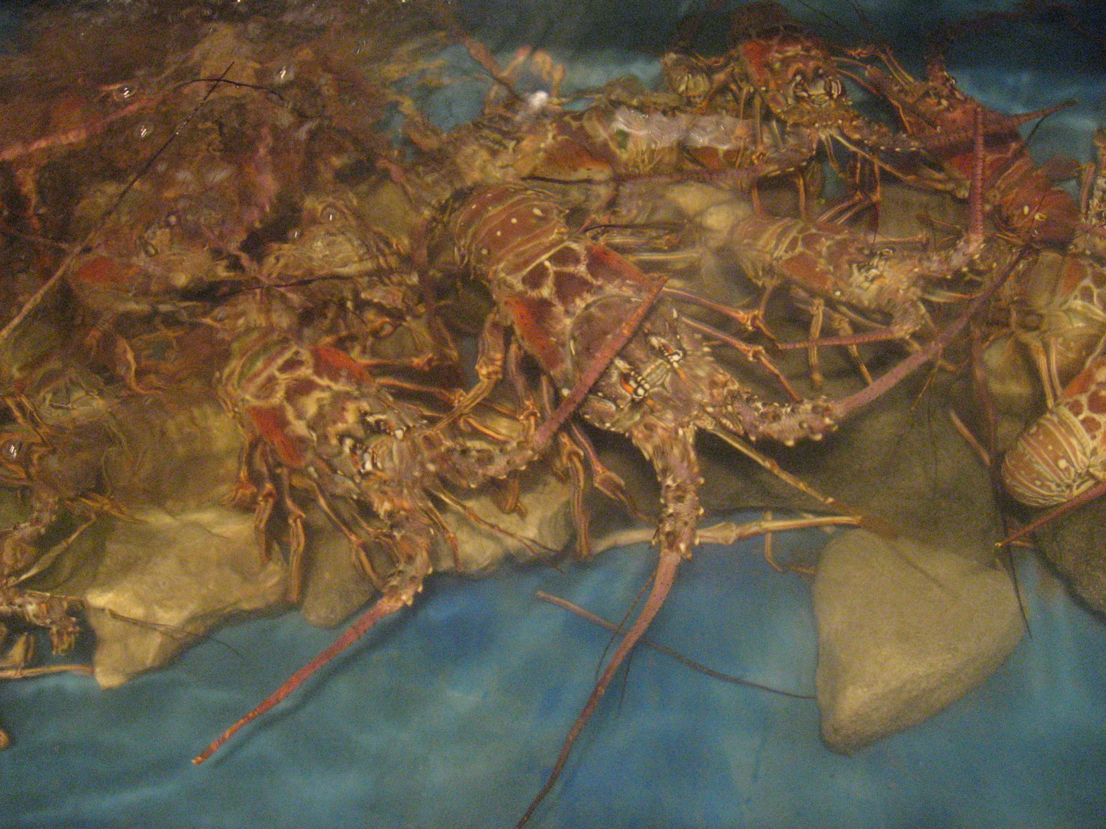 Tasmanian Government takes steps to ensure sustainable rock lobster fishery