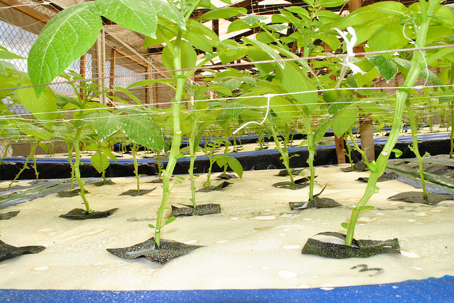 Aeroponic technology revolutionises seed potato cultivation