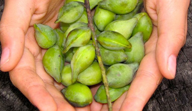 Seafood Co-operative Research Centre calls for more Kakadu Plum production