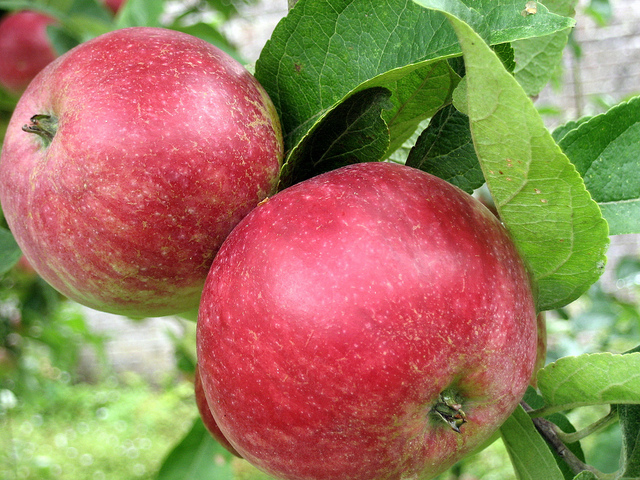 New apple variety tipped for glory