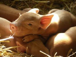 Victoria's livestock industry to benefit from new swill feeding law