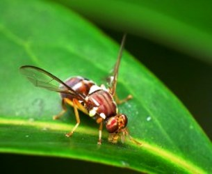 """SA """"means business"""" with new measures to prevent fruit fly outbreaks"""