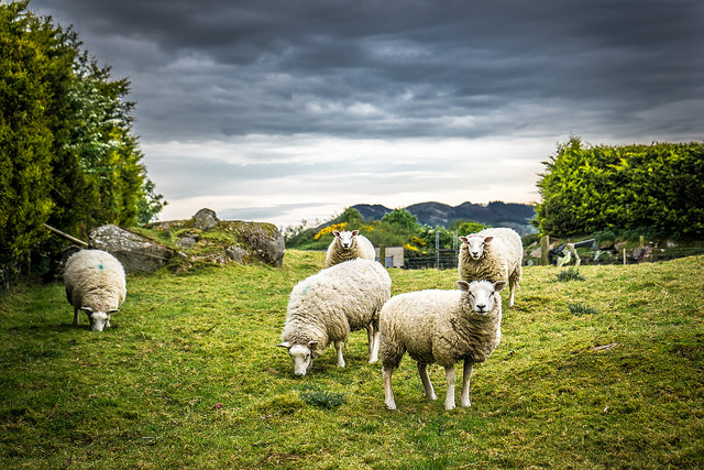 Royalties for Regions investment to support sheep industry growth