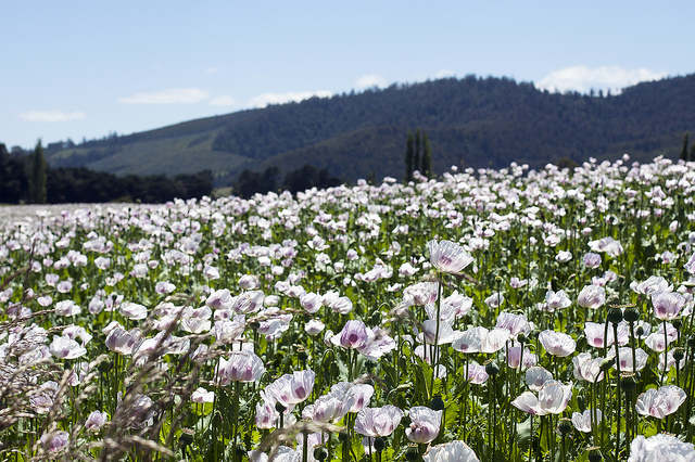 Tasmania could lift the ban on raw poppy material import