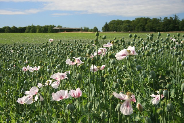 NT's first commercially grown opium poppy crop almost ready for harvest